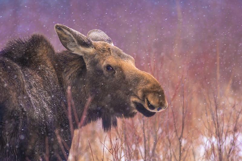 Moose cow yearling in snow Blue Spruce Road Sax-Zim Bog MN DSC02589.jpg