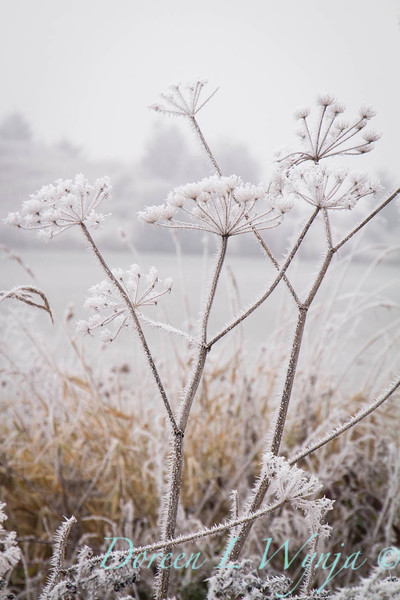 Winter frosted Daucus carota_9492.jpg