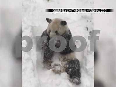 snowstorm-draws-mixed-reactions-from-giant-pandas-at-national-zoo