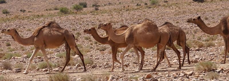 camel line 2.jpg