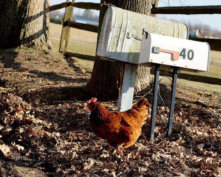 chicken mail.jpg