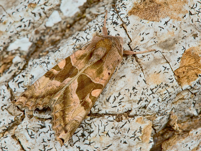 Brown Angle Shades Moth