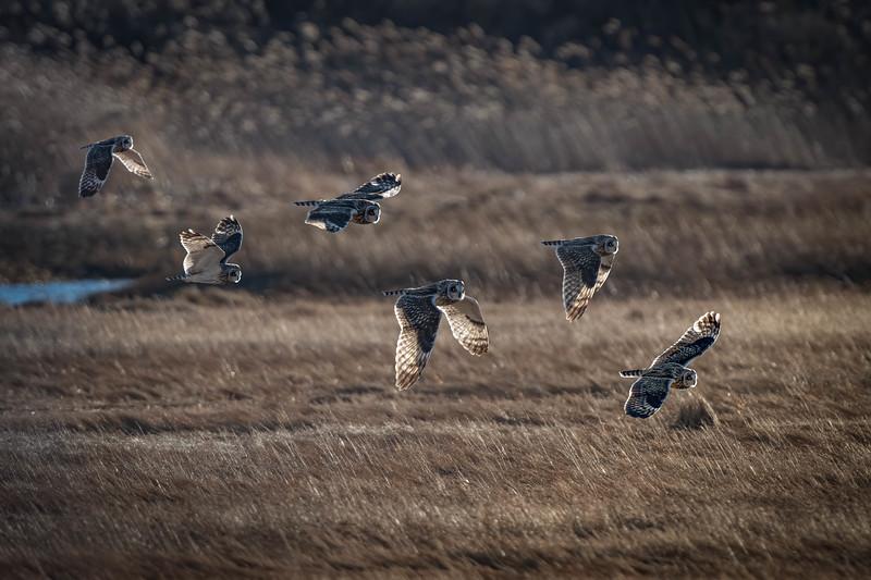 _5000783-Edit Short-eared Owl sequence.jpg