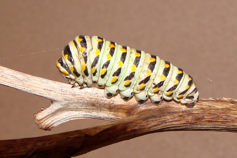 Black Swallowtail caterpillar preparing to pupate.  TX: Tarrnt Co. (Duhons' Fort Worth yard), 10 August 2007.