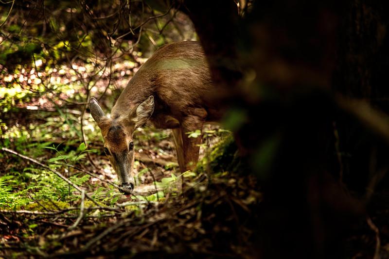 Deer in the trees.jpg