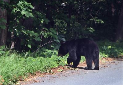 Groton bear 081120