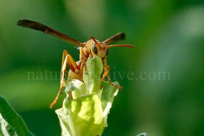 Golden Paper Wasp, Boyce Thompson Arboretum, AZ
