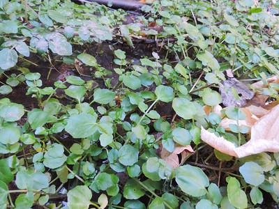 Water Cress (Nasturtium officinale)