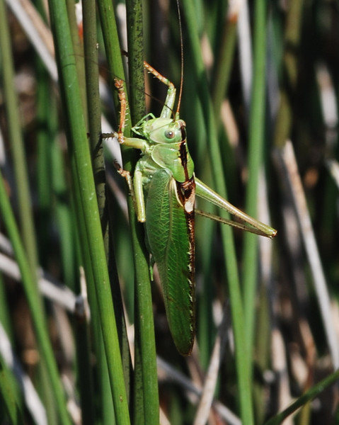 Great Green Bush Cricket, Camargue South of France 2009 ak
