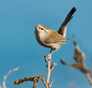 Jays, Crows,  Phoebes, Flycatchers,