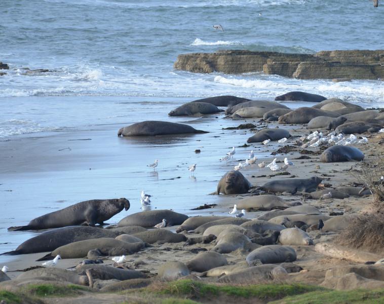 ano-nuevo-elephant-seals-2013 10.jpg