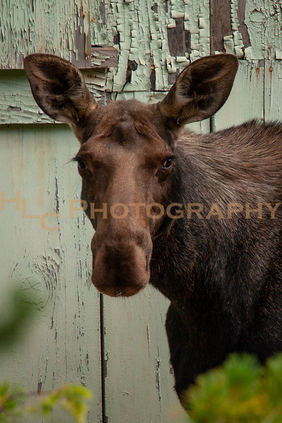 08/16/19 Cow Moose in Burke, Idaho