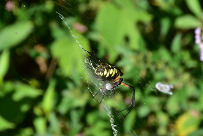 black yellow spider