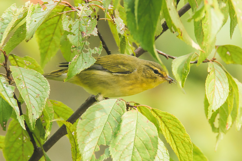 A Tennessee Warbler at the Celery Bog in West Lafayette, Indiana