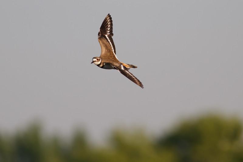 Kildeer In Flight