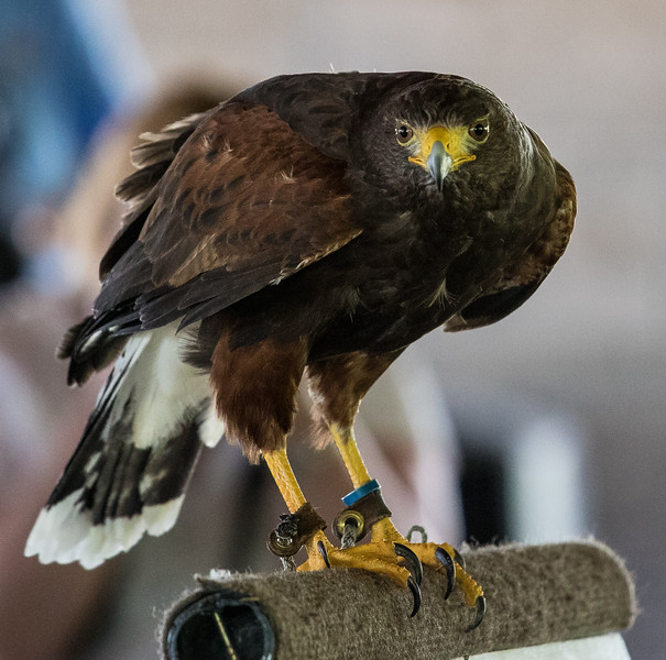 Birds Of Prey Show, Canadian Raptor Conservancy, Niagara Falls