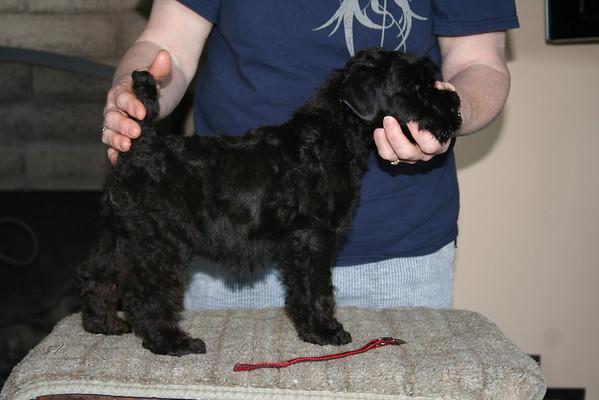 Mickey Rosie puppies 8 weeks
