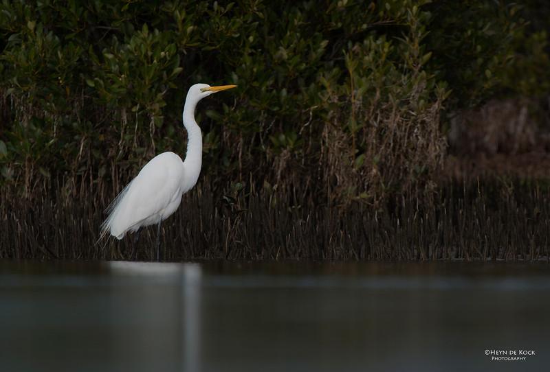 Great Egret, Shoalhaven Heads, NSW, Aus Jun 2013.jpg