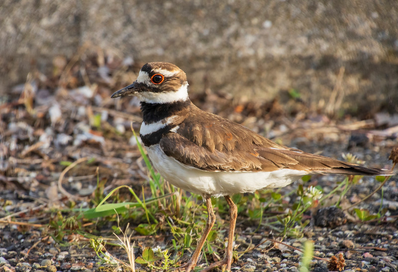 Killdeer-PickleRoadJune2018b.jpg