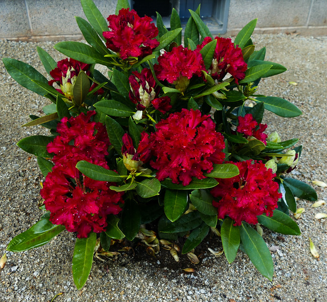 red rhodie is truly red.  we had to hunt for these