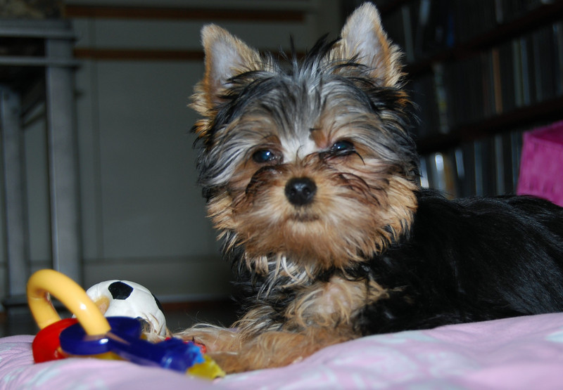 027 Yorkshire Terrier at 15 weeks.jpg