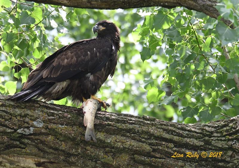 Juvenile Bald Eagle learning to eat on a tree limb (Mom brought the fish)  - 6/27/2018 - Decorah, Iowa, Fish Hatchery