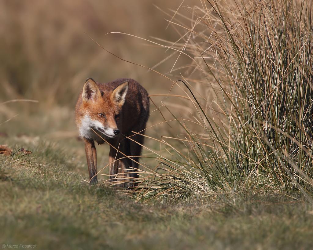 4. Red Fox
