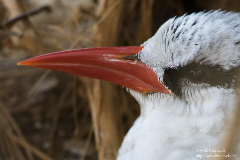 Red-billed Tropicbird - Little Tobago Island, Tobago