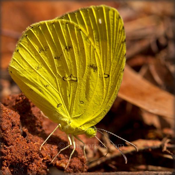 Oriental Common Grass Yellow - Eurema hecabe.jpg