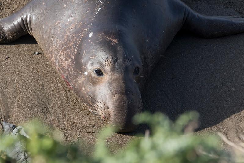 elephant seal bull with fresh injury