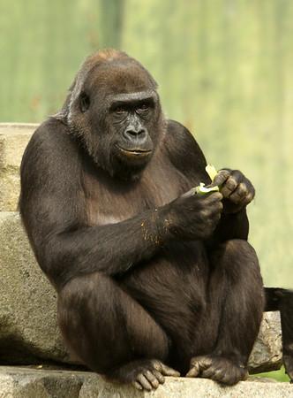 Gorillas at Port Lympne