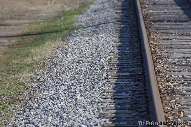 Killdeer-sitting-on-nest-railroad-tracks-Canton2.jpg