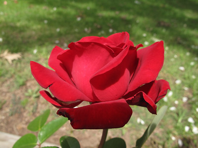 G10 Roses 2008 10 31
