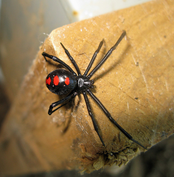 Latrodectus sp (Black Widow Spider)