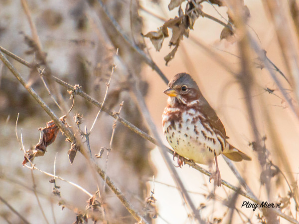 Fox Sparrow CB_DWL0923.jpg