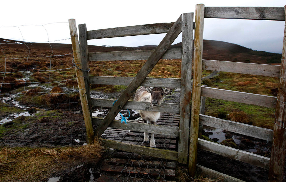 . A reindeer calf sticks its head through a gap in a wooden fence in the Cairngorm Mountains near Aviemore, Scotland December 28, 2012. The 150 strong Cairngorm Reindeer Herd is Britain\'s only herd of reindeer. REUTERS/David Moir