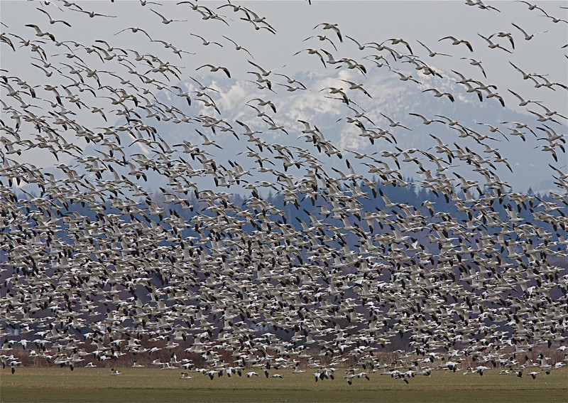 Snow Geese flying over the Skagit Flats in western Washington