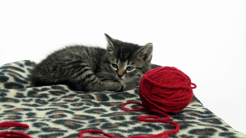 Kittens_tabby_007.mov