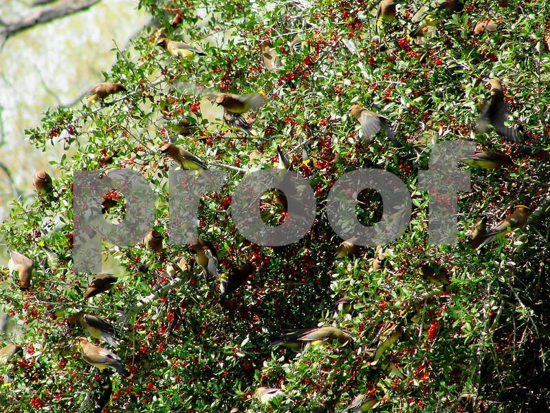 Brasilero-pimienta, Christmasberry árbol, Florida Holly