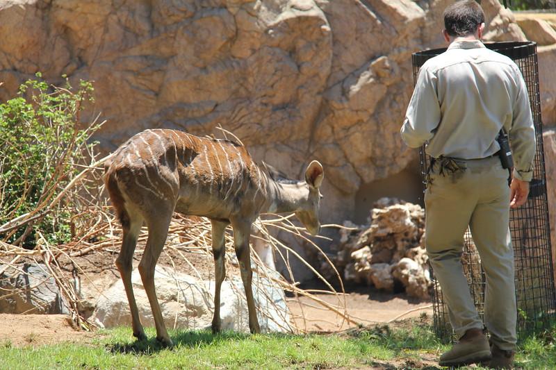 20170807-106 - San Diego Zoo - Antelope.JPG