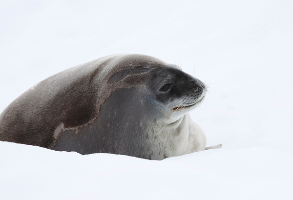 Seals of Antarctic