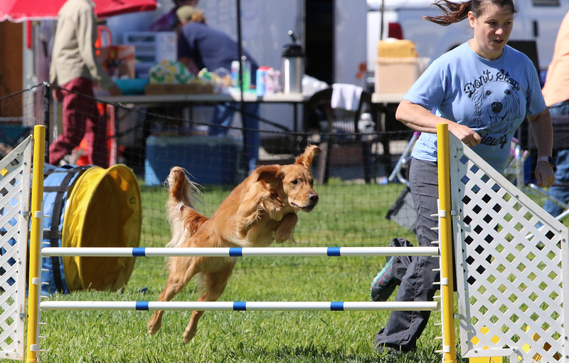 3-31-2018 Shetlant Sheepdog-3721.jpg