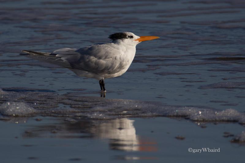 Royal Tern in Surf