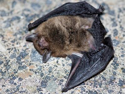 Large Forest Bat