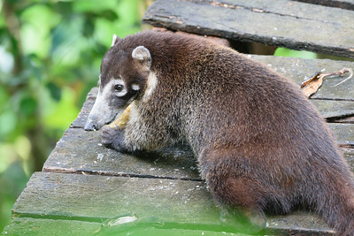Coati feeding on bananas.