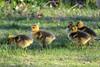 Canada Geese gosslings
