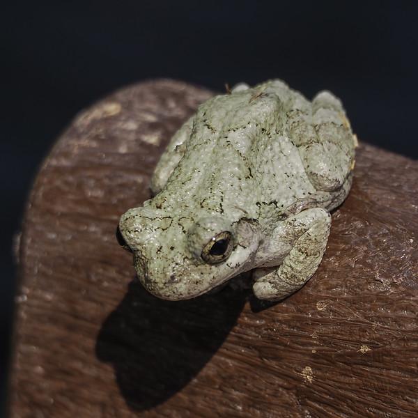 Cope's Gray Treefrog