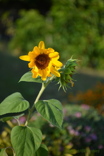 Sunflower Lonay_20092020 (8).JPG
