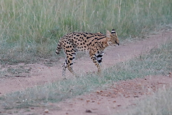 Serval Mara Kenya 2018