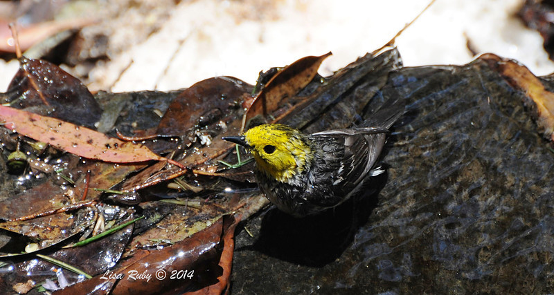 Hermit Warbler bathing - 5/26/2014 - Batiquitos Lagoon
